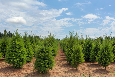 Rows of Christmas trees on farmland in Clackamas County Oregon