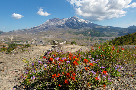 Wildflowers at Mount Saint Helens National Volcanic Monument in Washington State in summer along hiking trail Stock Photo