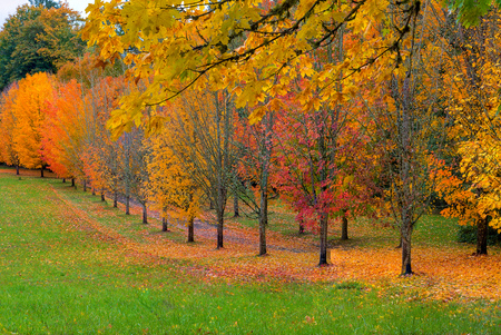 Park with tree lined maple trees in peak fall colors in Oregon