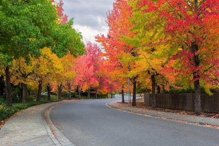 American Sweetgum trees lined street in suburban North American neighborhood street in fall season