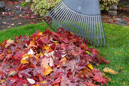 Raking red maple leaves fallen on green grass lawn in garden yard during autumn fall season