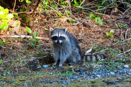 Raccoon sitting pose at Point Defiance Park in Tacoma Washington