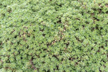 Thymus lanuginosus Woolly Thyme garden groundcover plant closeup