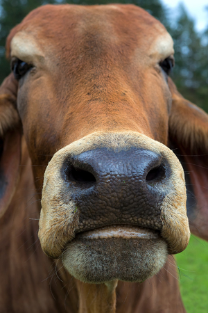 Brahman Cattle Mouth and Nostril closeup macro portrait