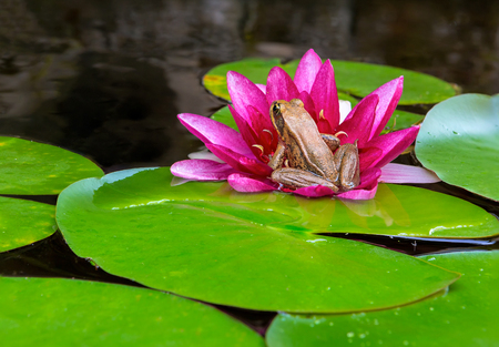 Pacific Chorus Tree Frog sitting on pink Water Lily Flower igarden backyard pond Stock Photo