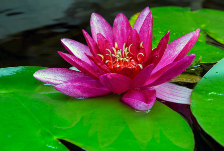 Pink water lily flower blooming in garden backyard pond during summer closeup
