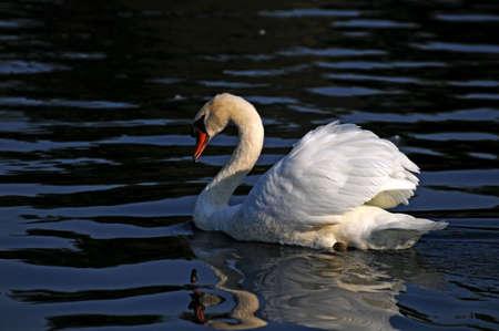 Swan 版權商用圖片