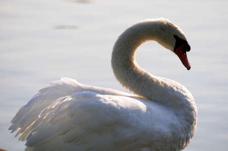 Swan 版權商用圖片 - 14988472