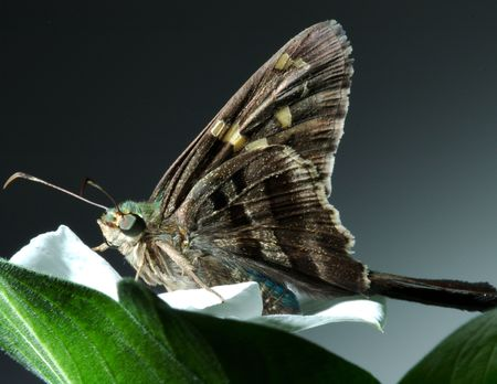 irridescent: Long Tailed Skipper