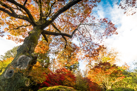 colorful tree: Giant colorful tree in fall season Stock Photo