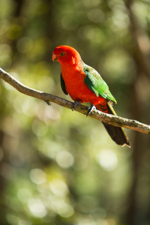 king parrot: King Parrot bird on a tree branch