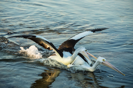 attacking: Pelican attacking another Pelican