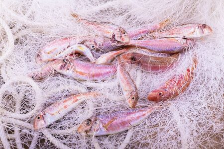 delicious and fresh red mullets in a fish net