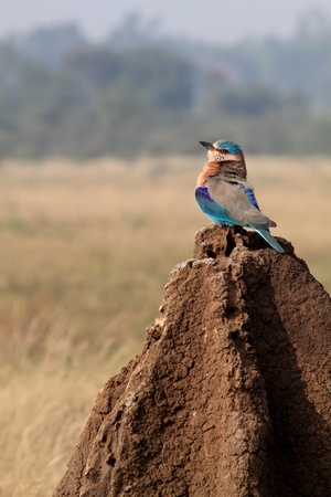 Indian Roller Stock Photo - 12927206