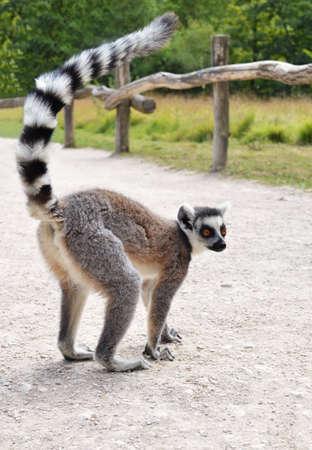 catta: Maki Lemur catta