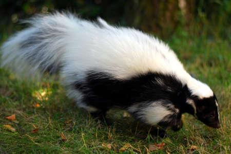 stinktier: Skunk