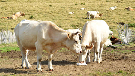 dinky: A cow herd