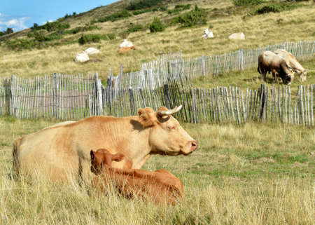 dinky: A cow with her calf.