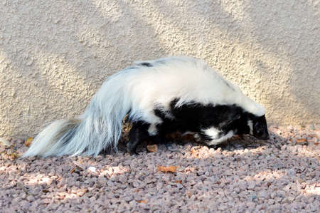 zoo as: A wild skunk Stock Photo