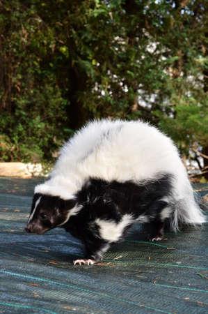 unpleasant smell: A wild skunk Stock Photo