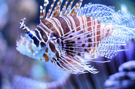 intoxicate: Saltwater fish in an aquarium. lionfish