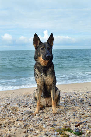 kampfhund: German shepherd on the beach