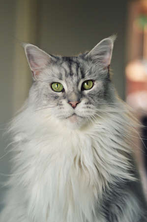 A beautiful Maine coon cat. Big cat Stock Photo