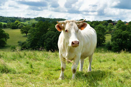 A Charolais cow in a green pasture in the countryside. Stock Photo