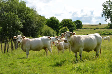 A herd of Charolais cow with a little calf, in a green pasture in the countryside. Stock Photo
