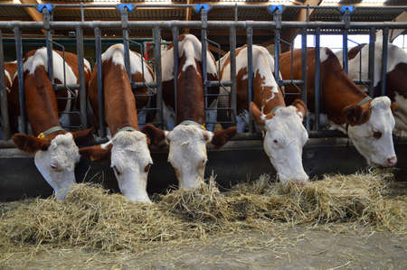 Dairy cows in stable, who eat hay.