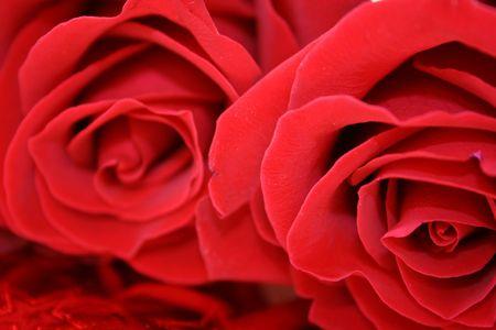 velvety: Roses Stock Photo