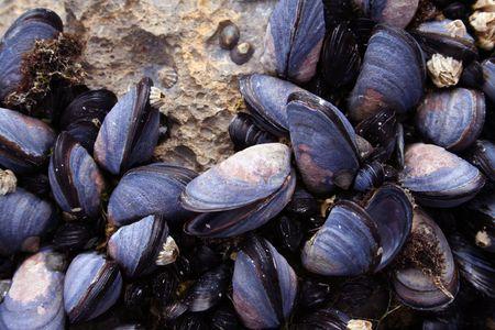 ムール貝のクローズ アップ