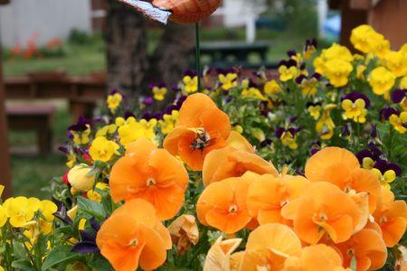 Bee on Pansies