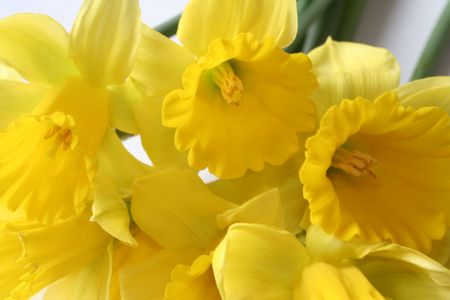 signify: Sunny Yellow Daffodils Signify Spring Stock Photo