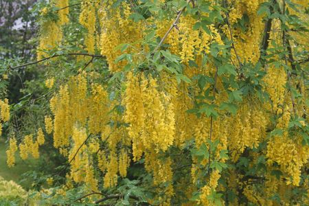 Golden Chains Tree Blooming in Spring