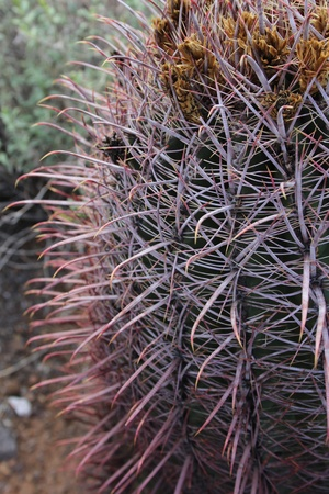 curve claw: Cats Claw Cactus Closeup in Arizona Stock Photo