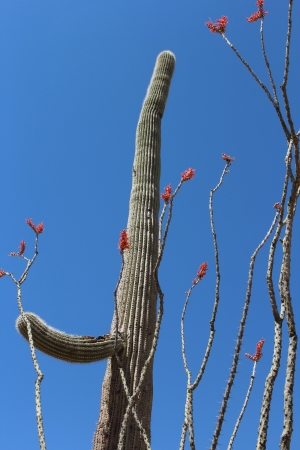 ocotillo: Saguaro and Ocotillo Cactus in Spring in Arizona