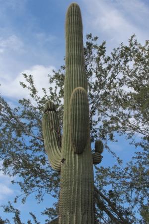 carnegiea: Saguaro Cactus in Arizona Desert in Spring Stock Photo