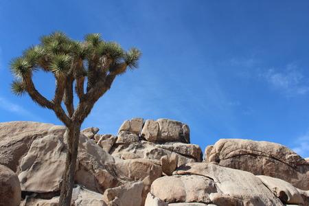 yucca: Joshua Tree with Granite Rocks in California Desert