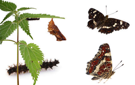 Metamorphosis of the Map Butterfly (Araschnia  levana), showing caterpillar, chrysalis and adult. photo