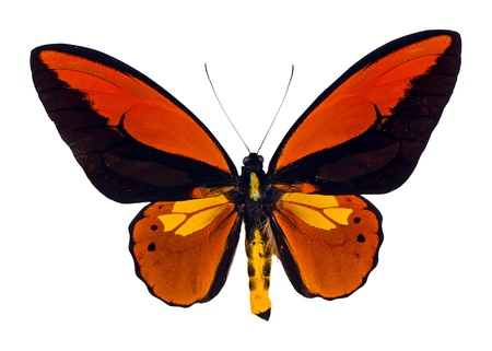 Various croesus, Birdwing swallowtail Stock Photo