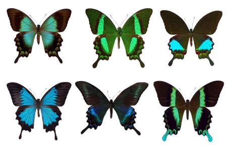 Six different tropical swallowtail butterflies.