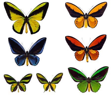 swallowtails: Various Ornioptera, Birdwing swallowtails