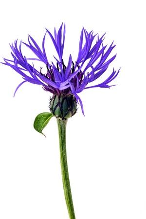 Blue flower on white Stock Photo