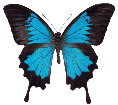 Blue Butterfly. Swallowtail species Stock Photo