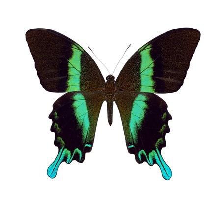 Green Swallowtail photo