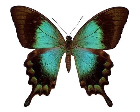 Grüne Schwalbenschwanz Standard-Bild - 8474701