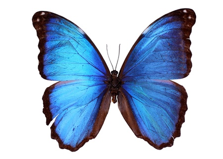 morpho menelaus: Blue Morpho butterfly (Morpho godarti) Stock Photo