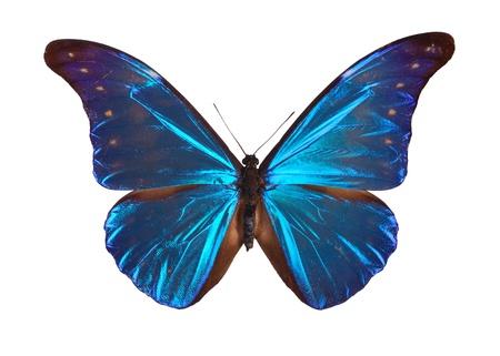 Blue Morpho-Schmetterling (Morpho Retenor) aus SAuth Amerika. Standard-Bild - 8474697