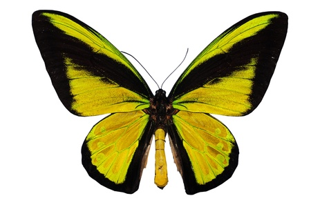 Giant Bird wing swallowtail (Ornithoptera goliath procus)